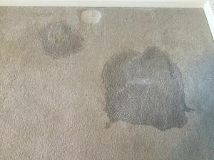 DooDoo Voodoo flooded on carpet to clean up dog pee